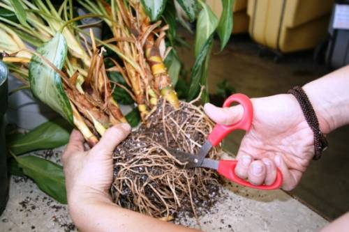 Маранта в домашних условиях: особенности ухода и размножения. Проблемы при выращивании маранты дома (фото) 7