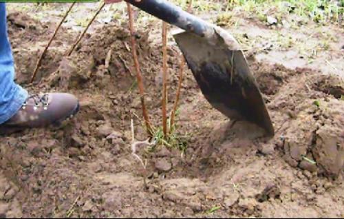 Ремонтантная малина: посадка  осенью. Как сажать и размножать ремонтантную малину осенью и укрыть на зиму 4
