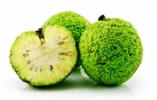 Что такое адамово яблоко (маклюра) и как его использовать. Применение в народной медицине адамова яблока 1
