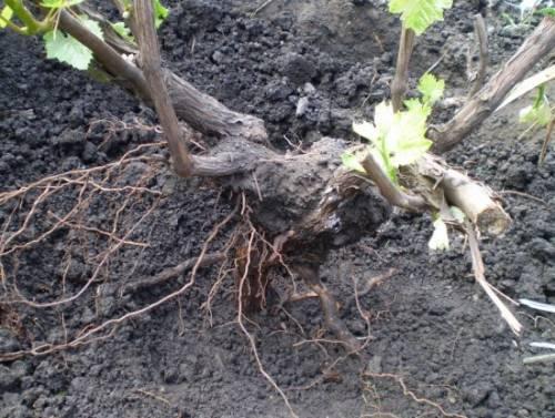 Нужно ли пересаживать виноград осенью? Правила и советы по пересадке, как ухаживать за кустом после процедуры 2