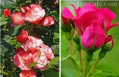 Обильное цветение садовых роз