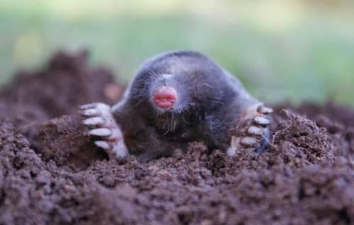 Чем на огороде питаются кроты, зачем роют землю? Какую пользу приносят почве кроты или от них один только вред? 7
